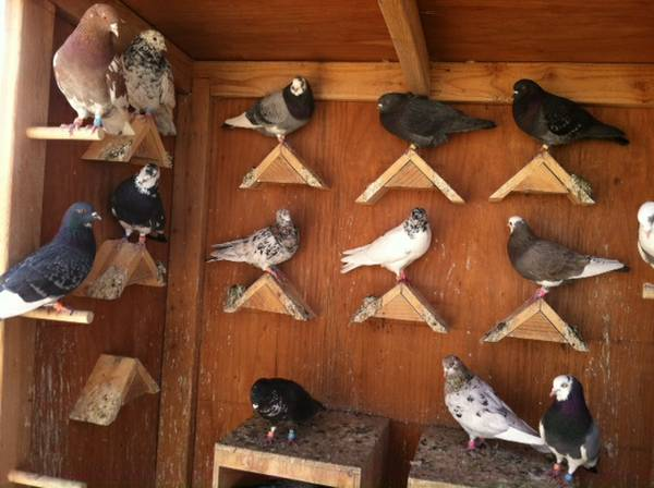 Rustenburg Pigeons For Sale North West Classifieds Ads
